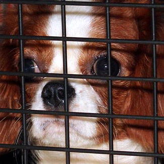 Sad puppy mill dog looking through cage